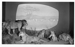 East African Lions Diorama Post 1959