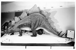 Stegosaurus Model on Exhibit, 1963, NMNH