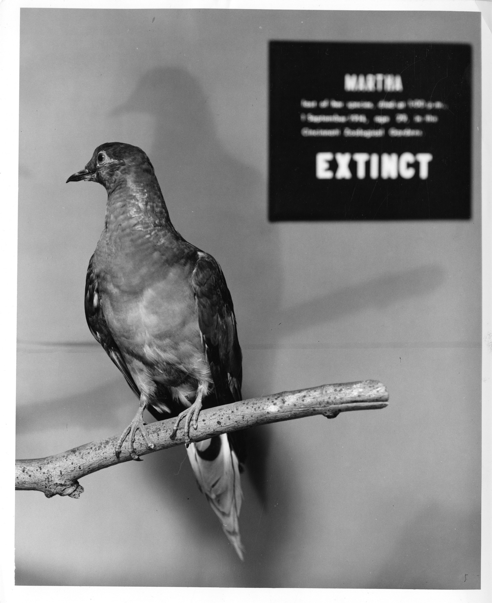 images for Martha, a Passenger Pigeon