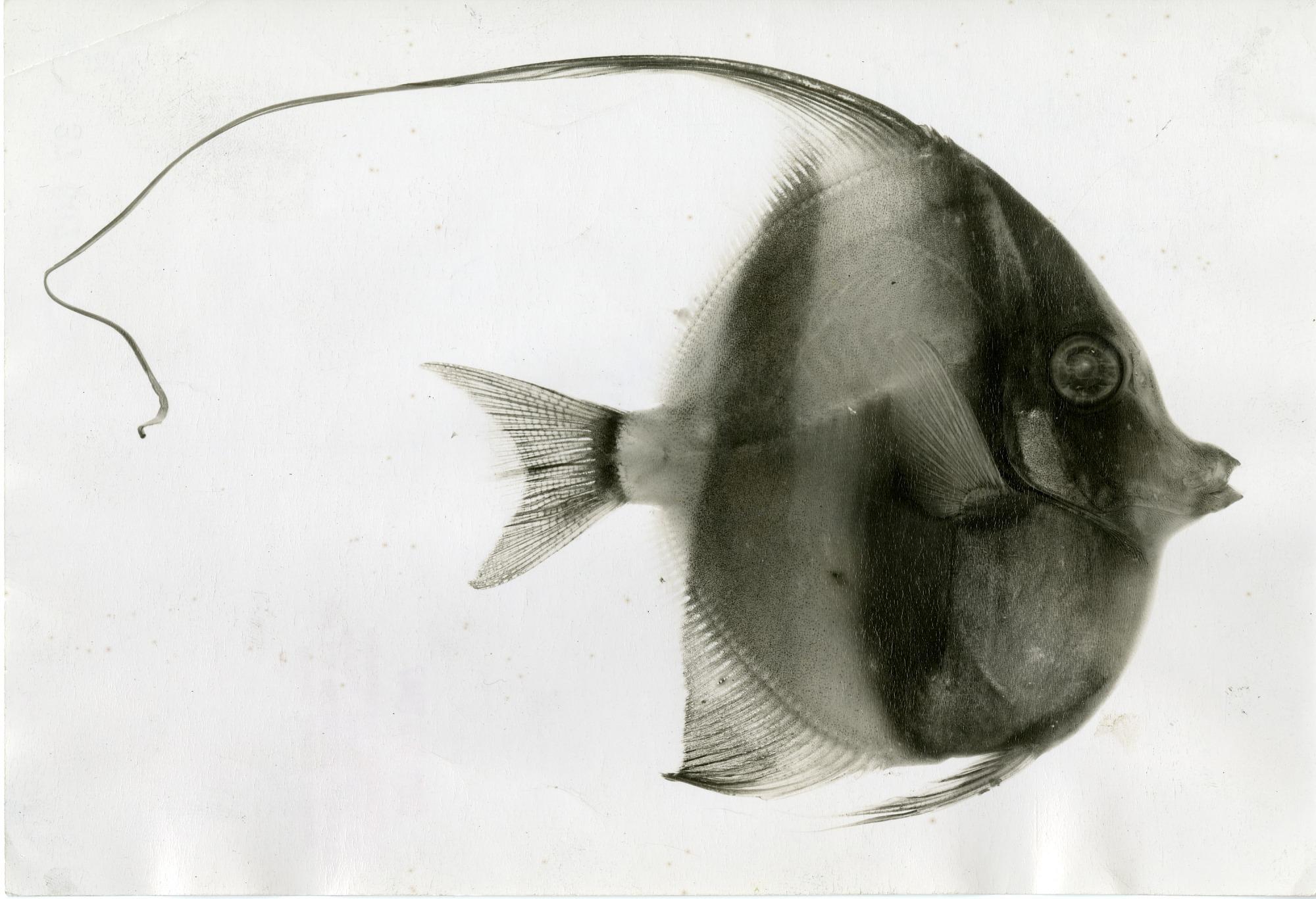A Moorish idol (Zanclus canescens) fish specimen from Bikini Atoll