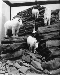 Rocky Mountain Goat Group