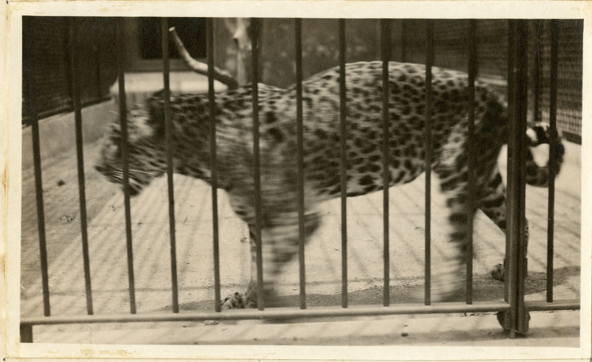 Views of the National Zoological Park in Washington, DC, showing Jaguar