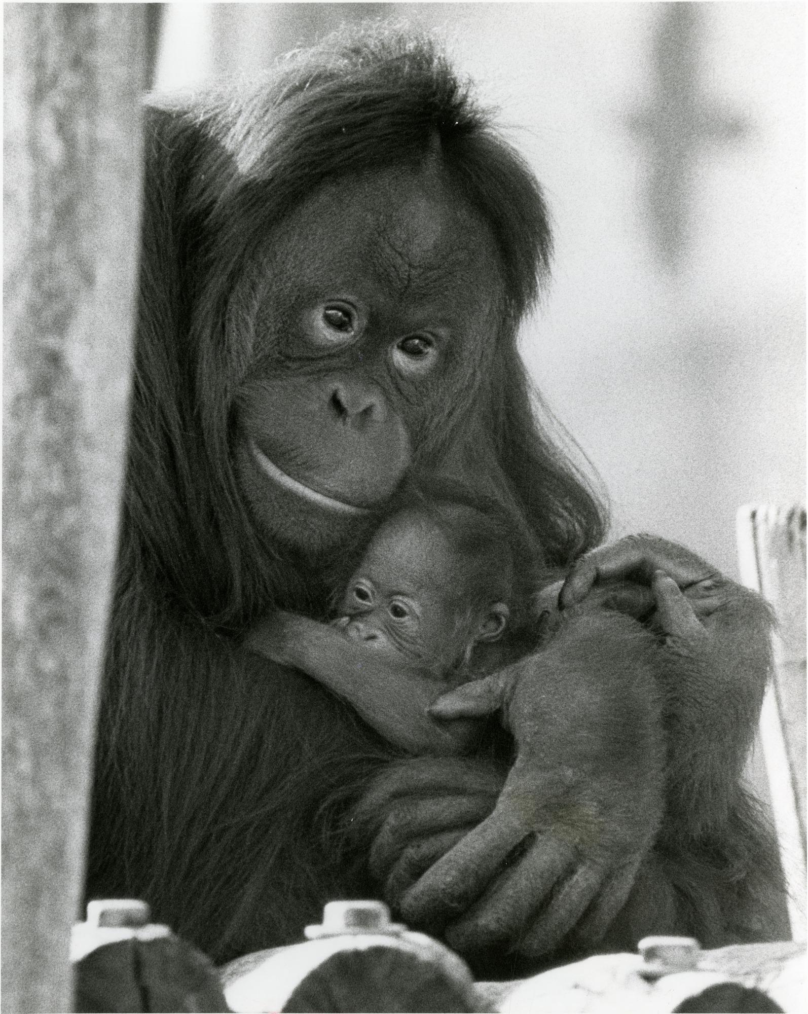 NZP's Orangutans, Bonnie and Baby Kiko
