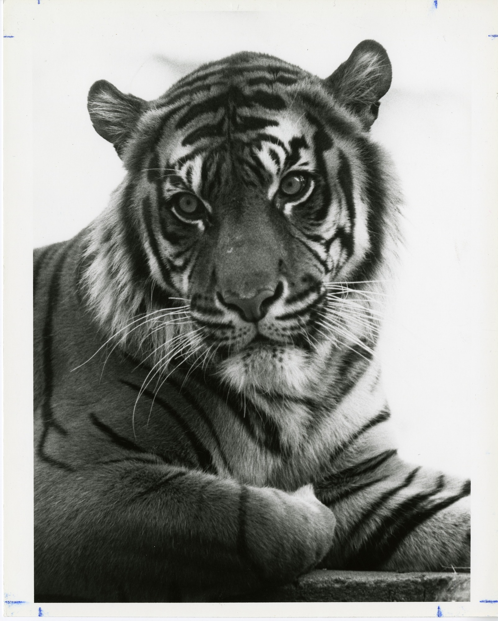 Riau the Sumatran Tiger, by Cohen, Jessie, 1989, Smithsonian Archives - History Div, SIA2011-1028.