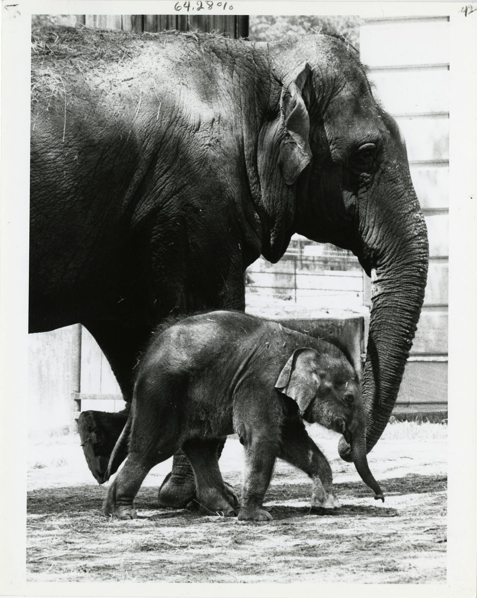 Mother Elephant Shanthi and her Baby Kumari