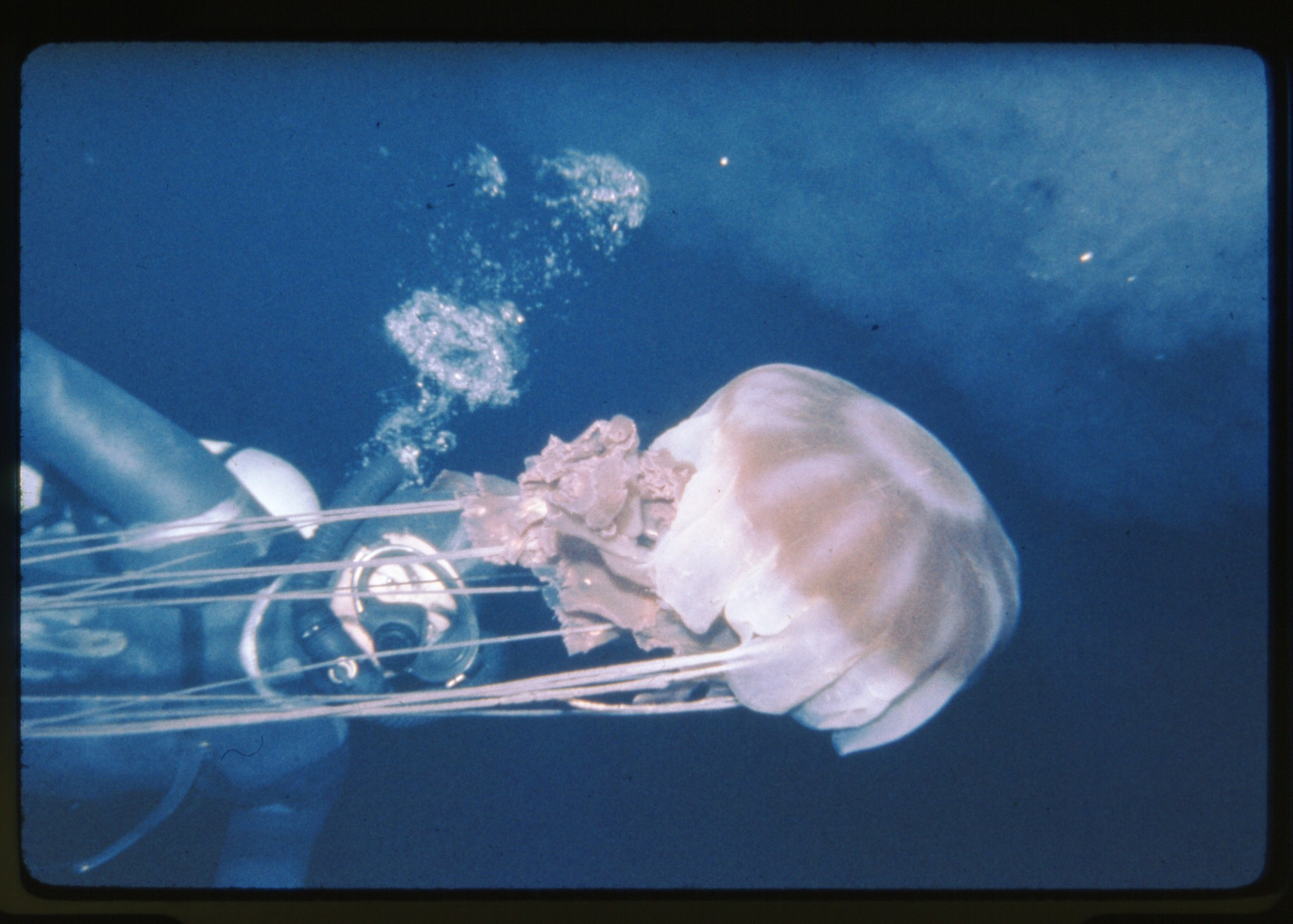 C. Ray and large jellyfish, during underwater specimen collecting near Palmer Peninsula, Antarctica, c. 1962