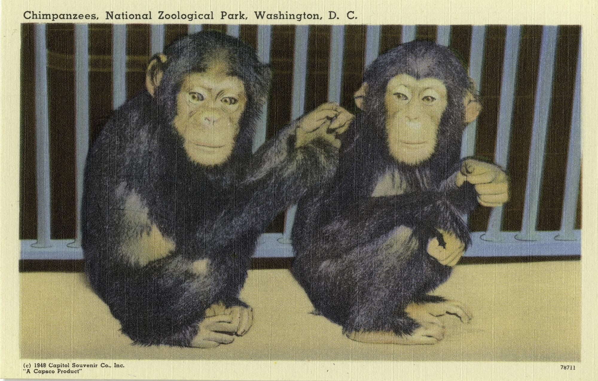 Postcard of Chimpanzees at the Zoo
