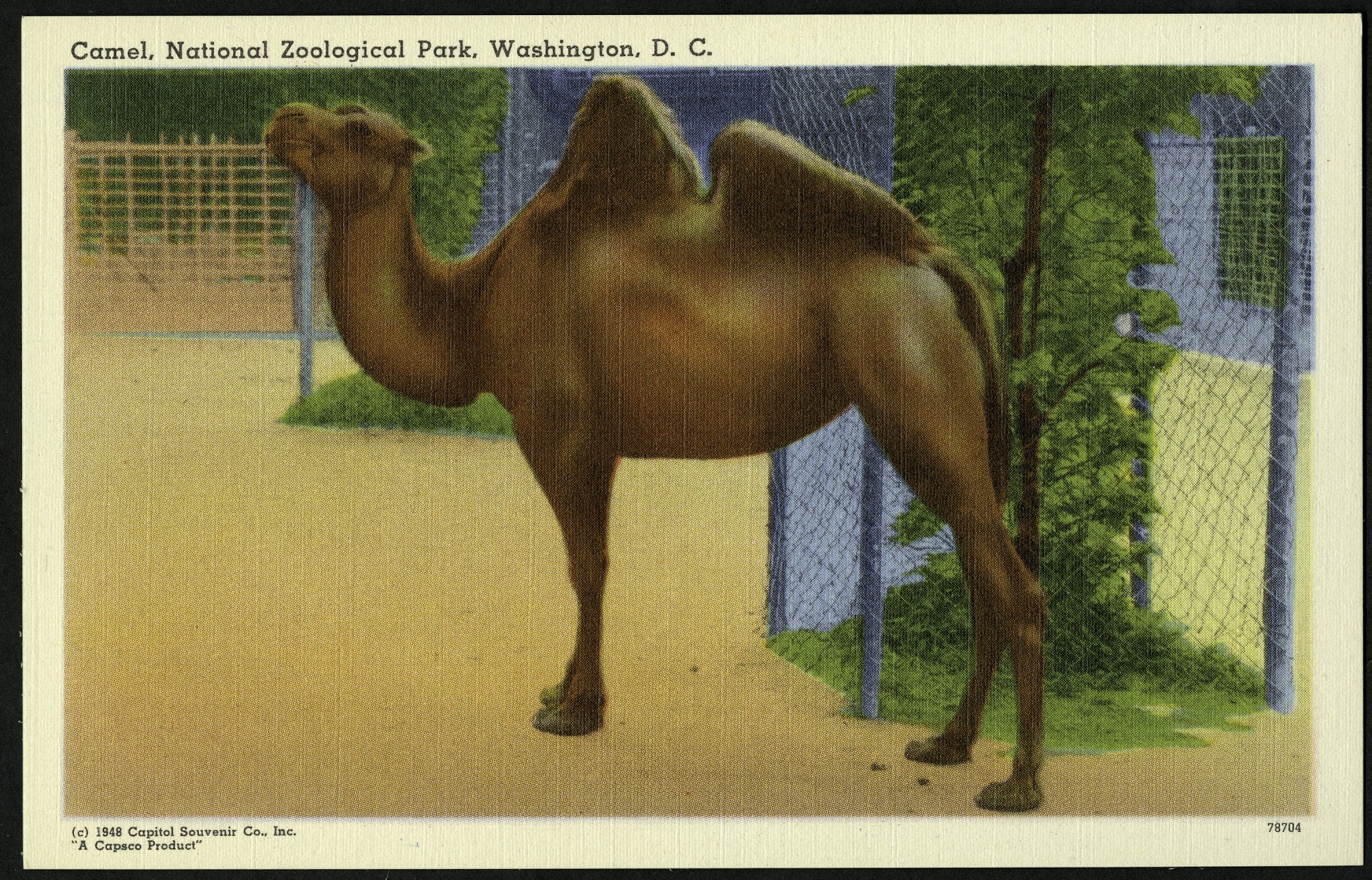 Blank Postcard of a Camel at the Zoo
