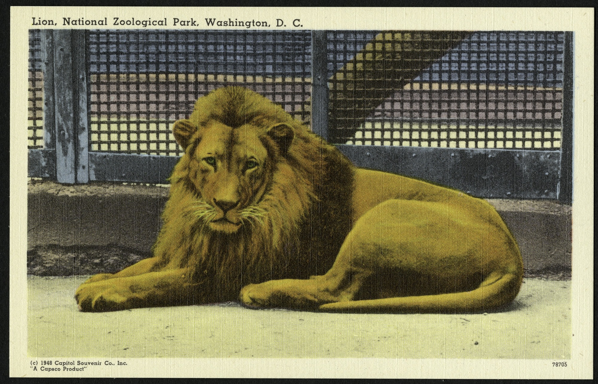 Blank Postcard of a Lion at the Zoo