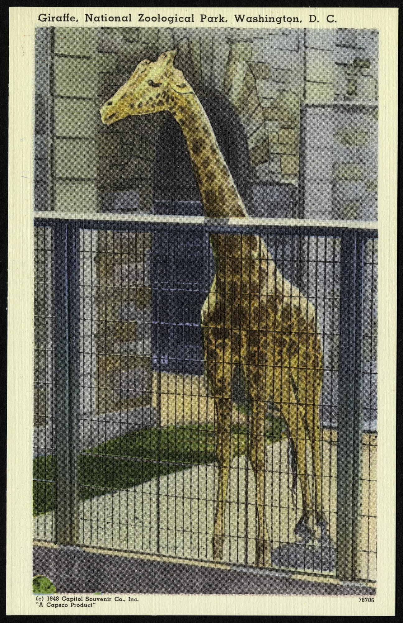 Blank Postcard of a Giraffe at the Zoo