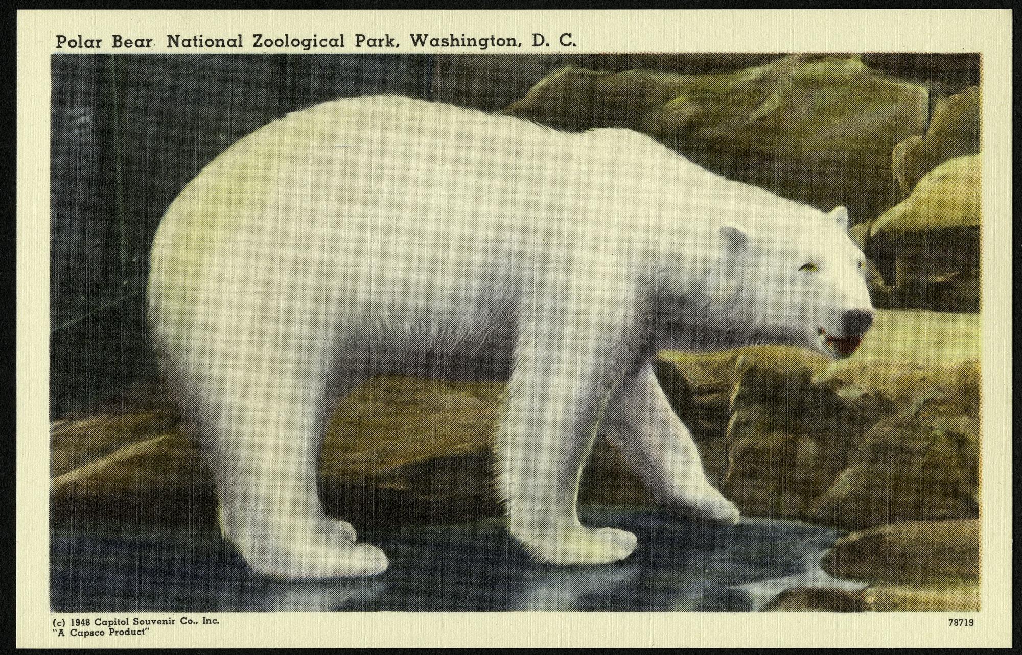 Blank Postcard of a Polar Bear at the Zoo