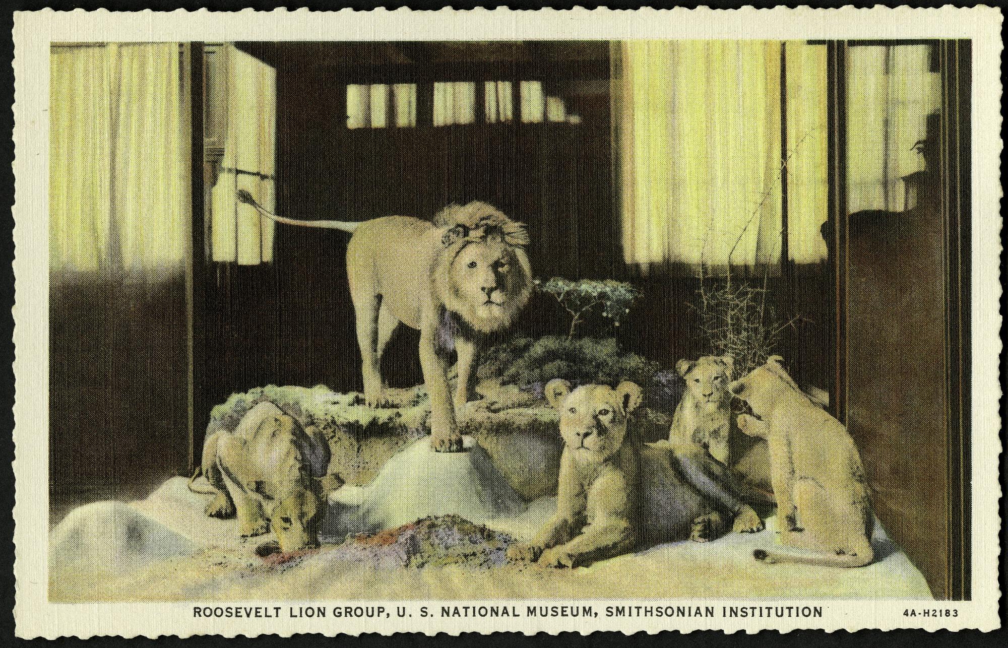 Blank Postcard of Roosevelt Lion Group