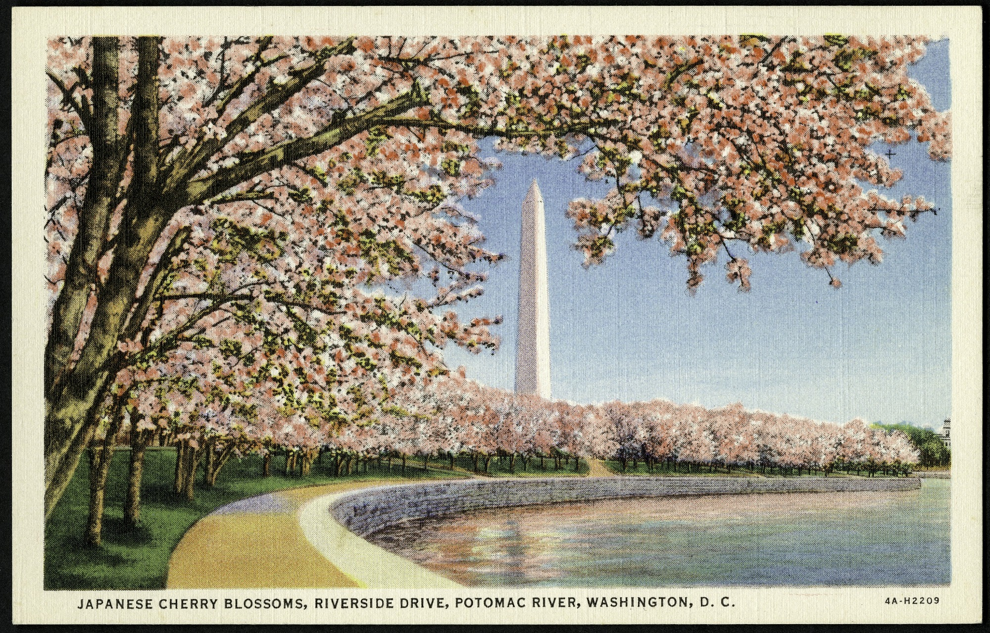 Postcard of Japanese Cherry Blossoms on Riverside Drive