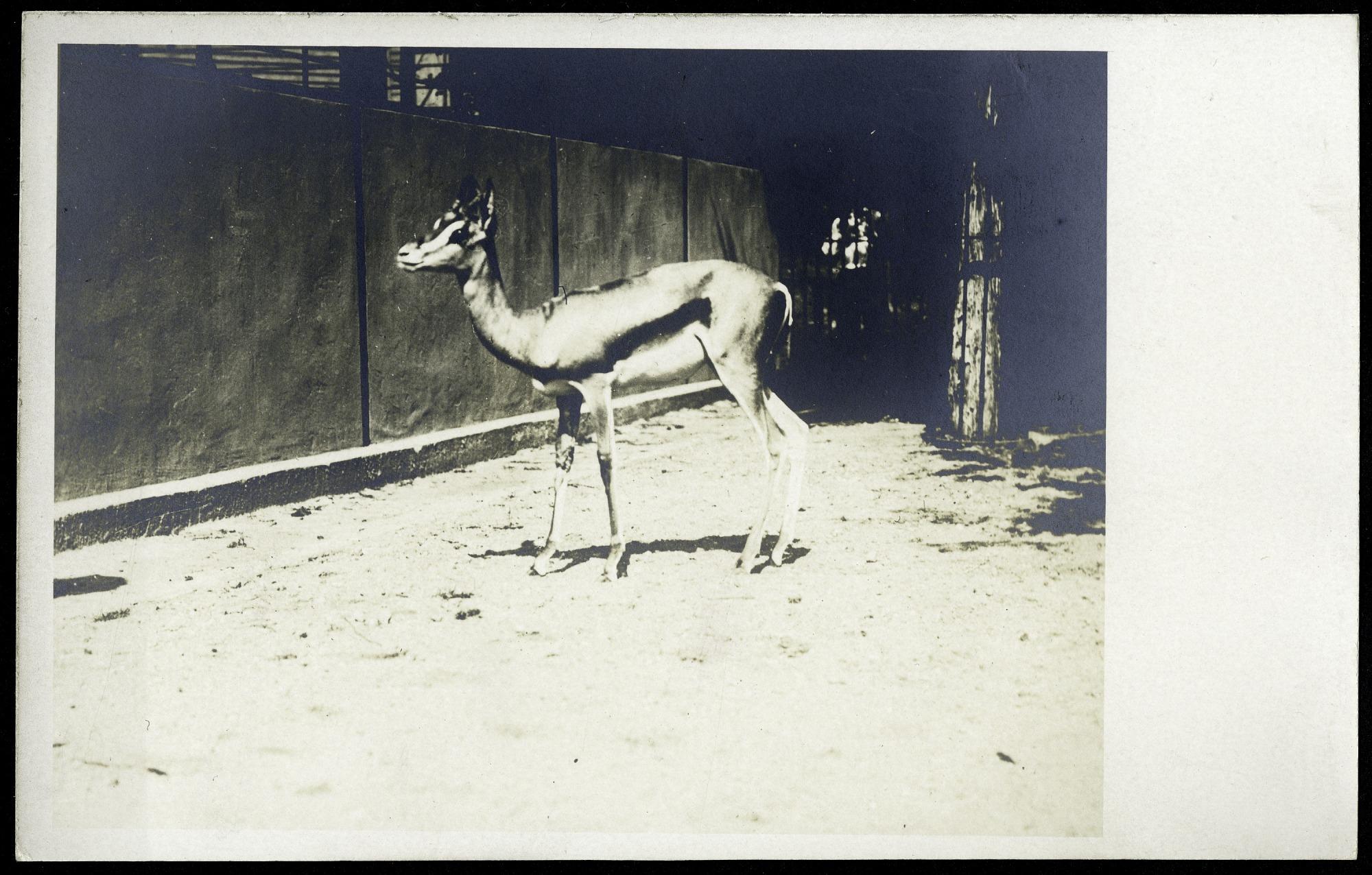 Postcard of a Gazelle