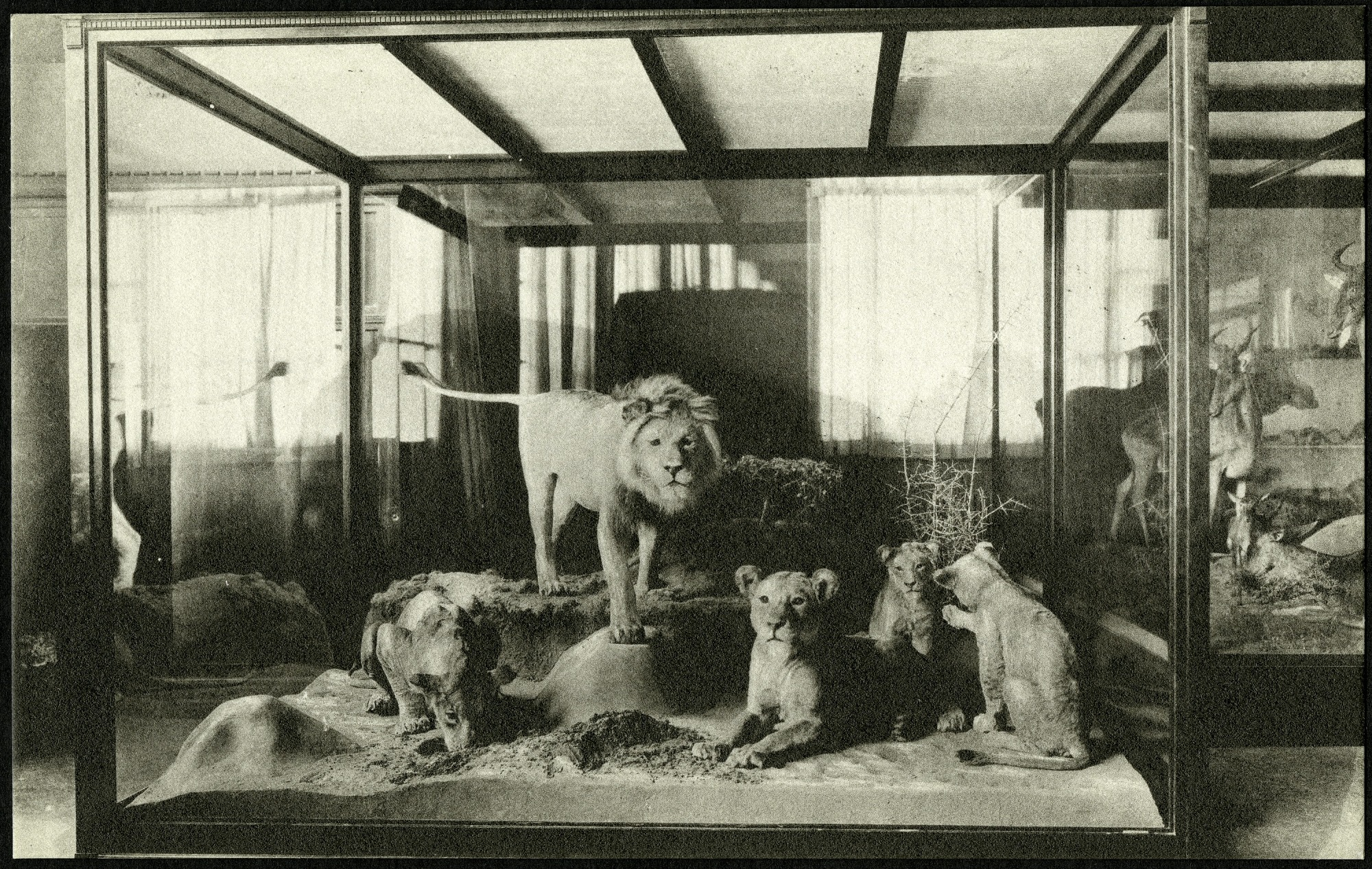 Postcard of African Lions
