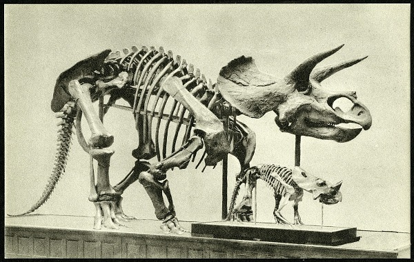 Postcard of Horned Dinosaur Skeletons