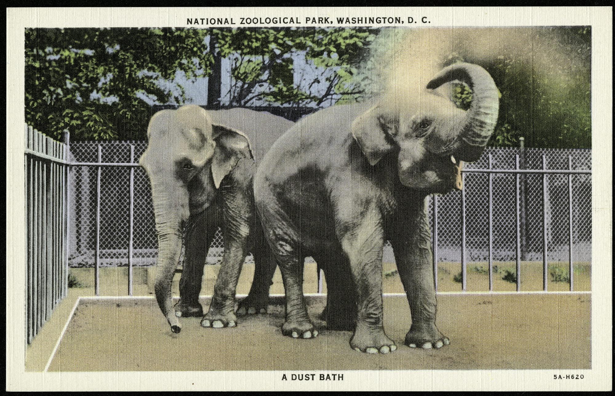 "Postcard of Elephants Taking a ""Dust Bath"""