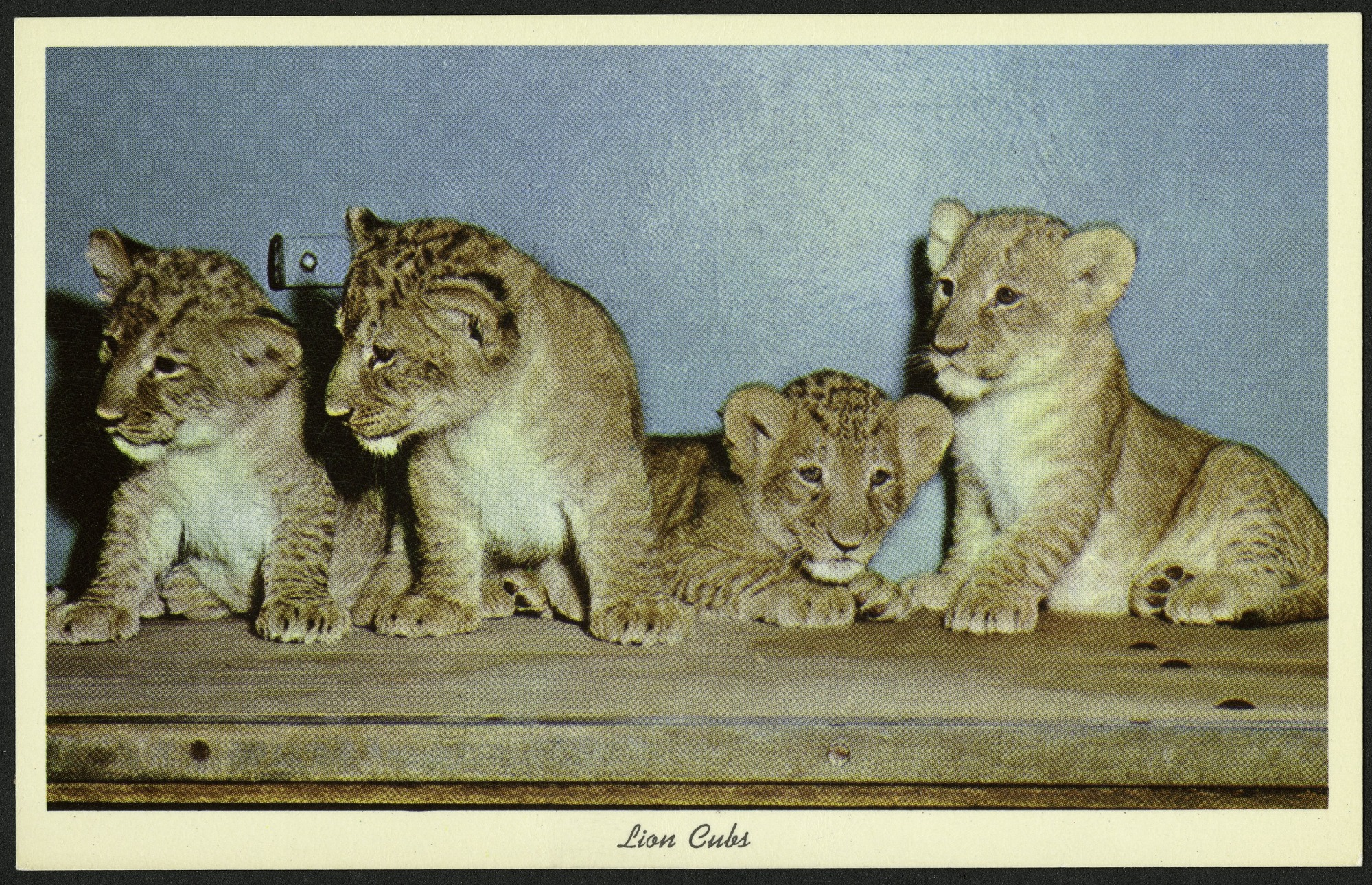 Blank Postcard of Lion Cubs