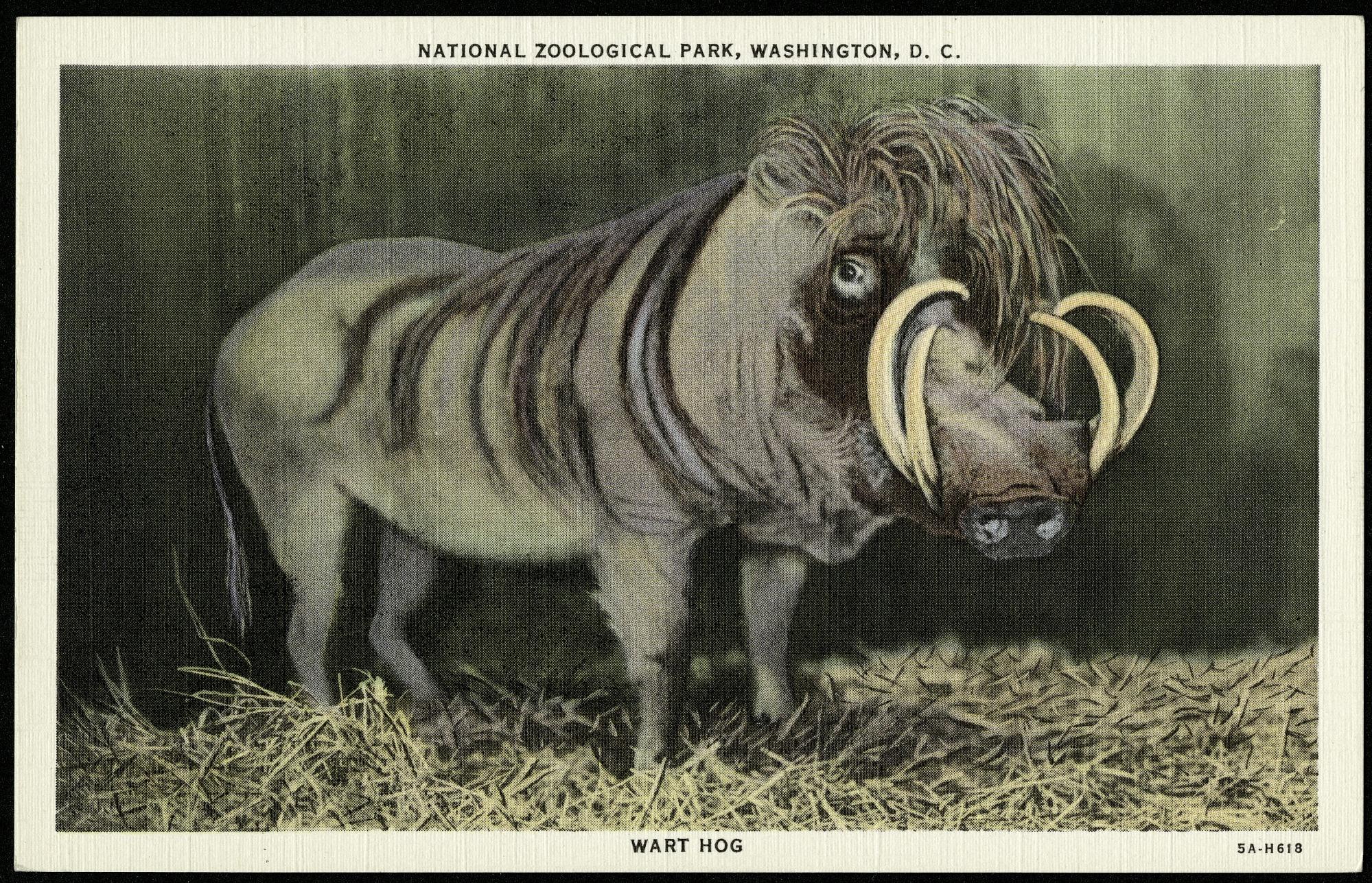 Postcard of a Wart Hog