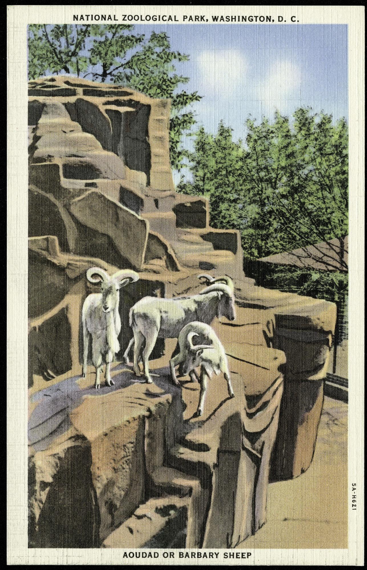 Postcard of Aoudad or Barbary Sheep