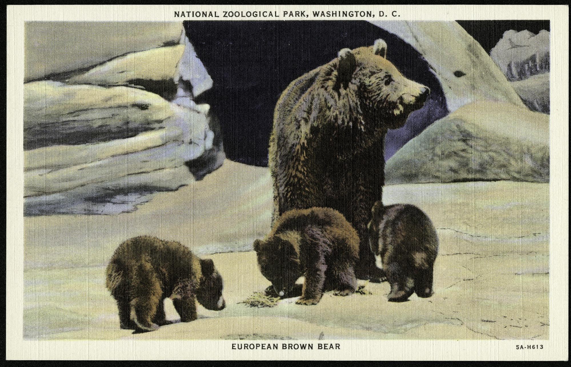 Postcard of European Brown Bears