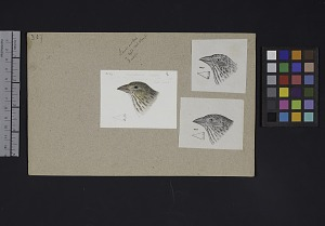 Image of Robert Ridgway Bird Head Drawing #307