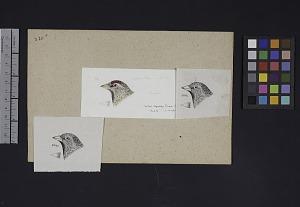 Image of Robert Ridgway Bird Head Drawing #320x