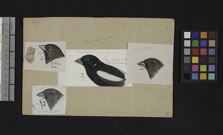 Robert Ridgway Bird Head Drawing #377