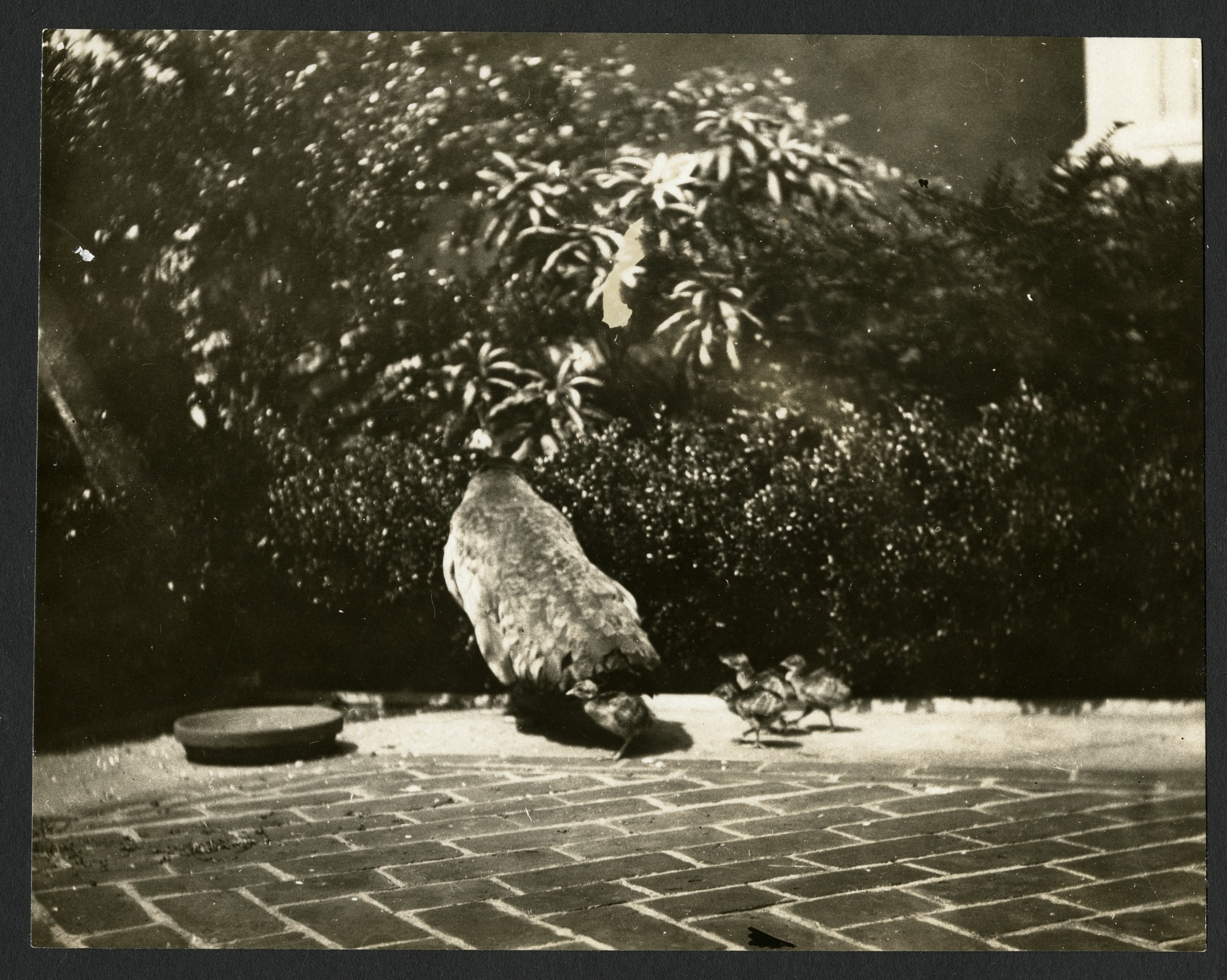Peacock and Babies in the Freer Gallery of Art Courtyard