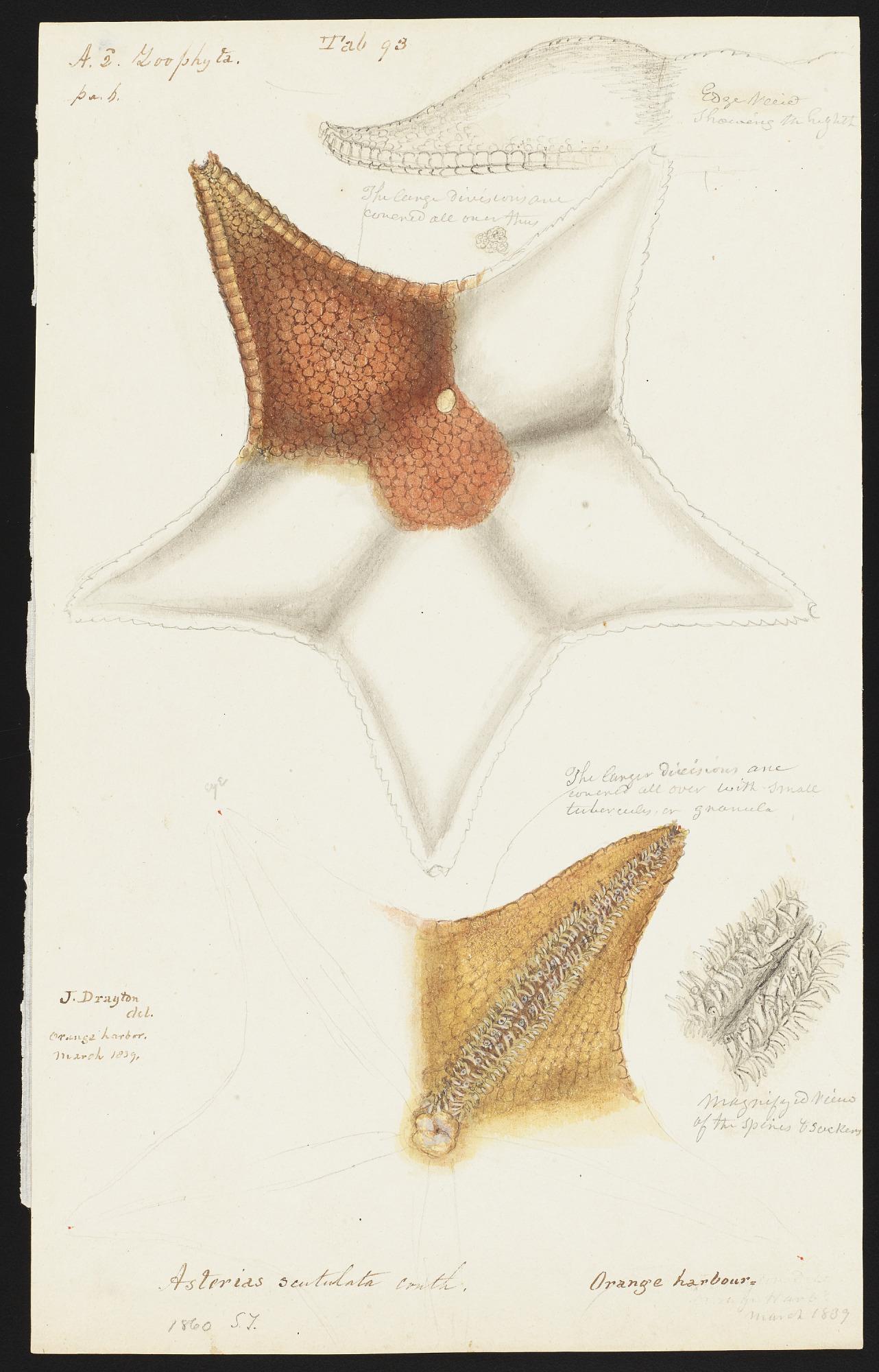 Echinoderms, drawings by Joseph Drayton, 1838-1839, Smithsonian Field Book Project, SIA RU007186.