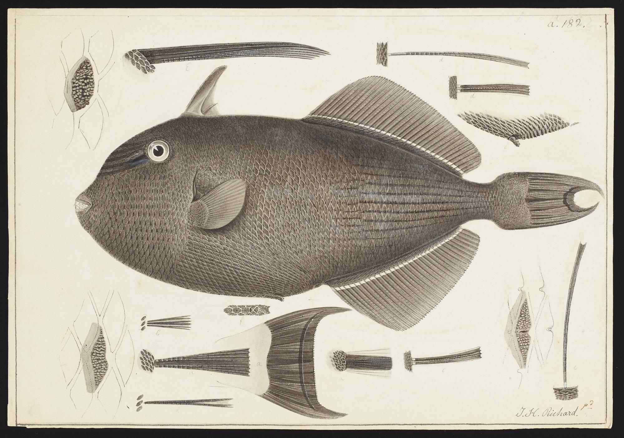 Drawings of Balistoids, 1838-1842, Smithsonian Field Book Project, SIA RU007186.