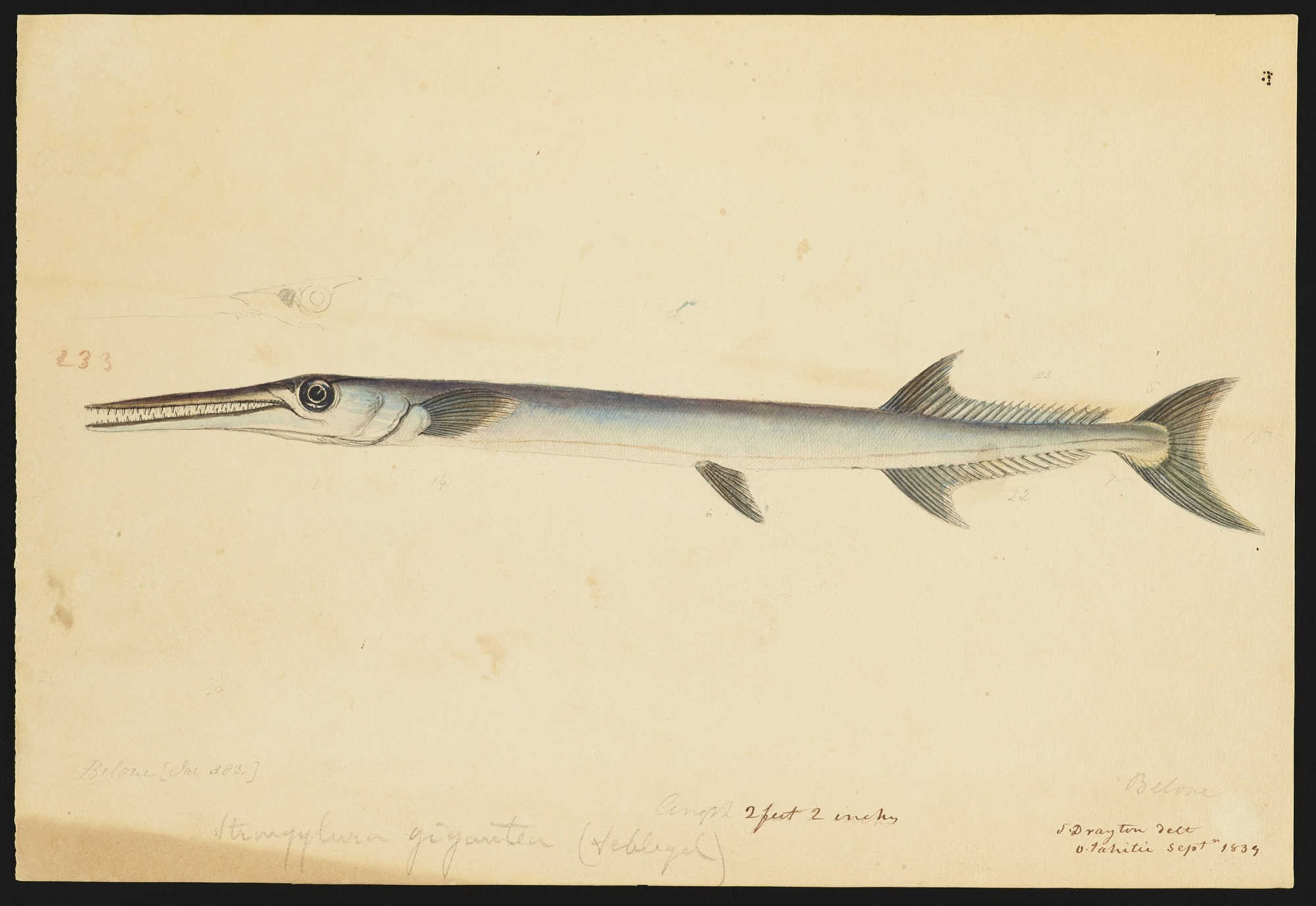 Drawings of Belone, Hemisamphius and other unidentified fishes (two drawings removed to Box 7)