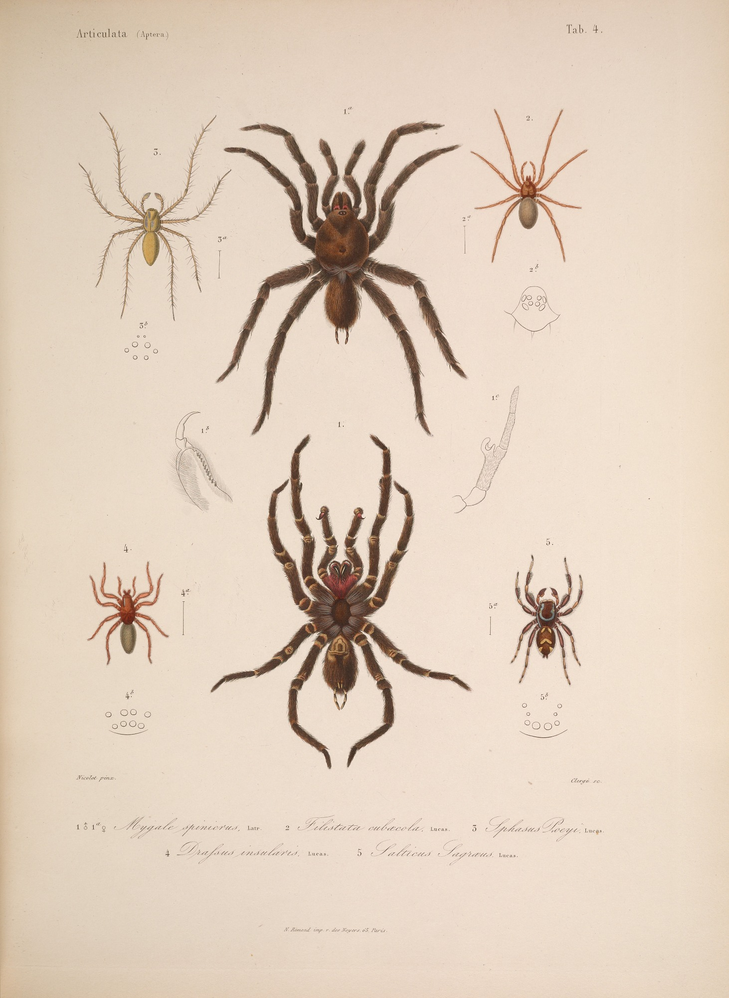 Species and anatomy of Cuban spiders