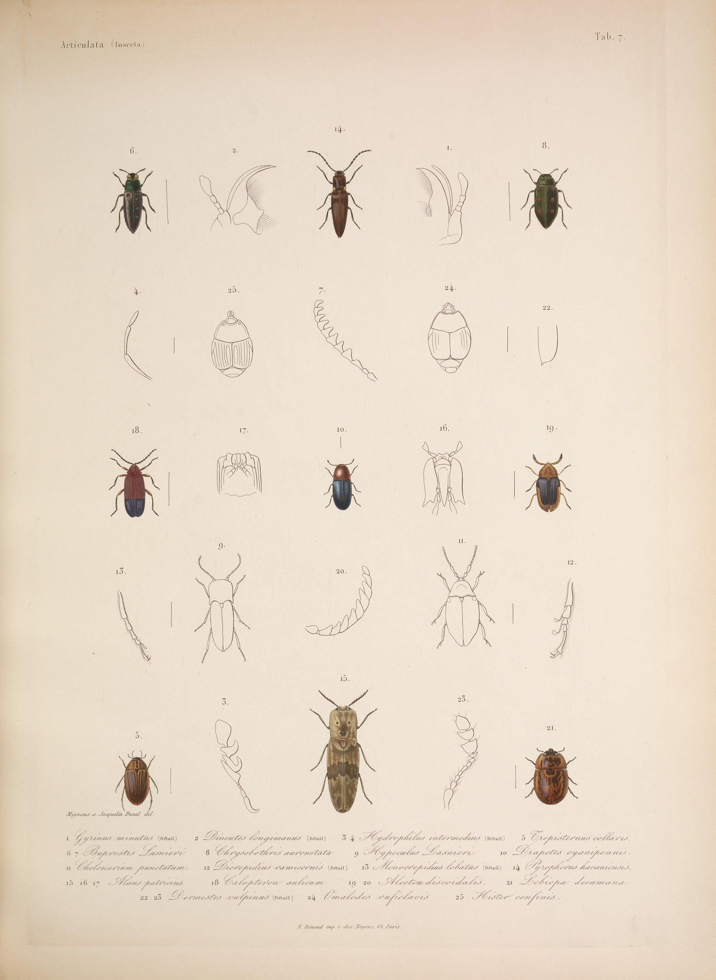 Species and anatomy of beetles, including whirligig beetle (Fig. 1-2 ...