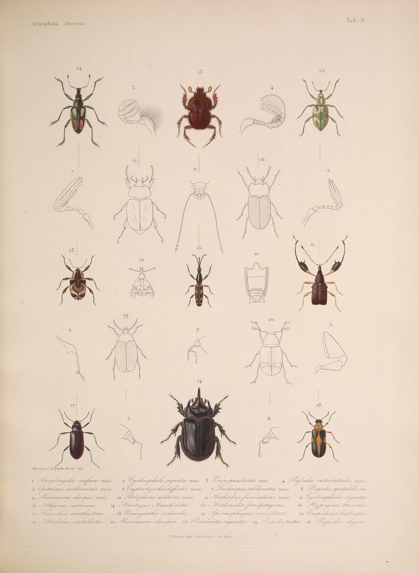 Species and anatomy of beetles, including scarab beetles (Fig. 2,12 ...
