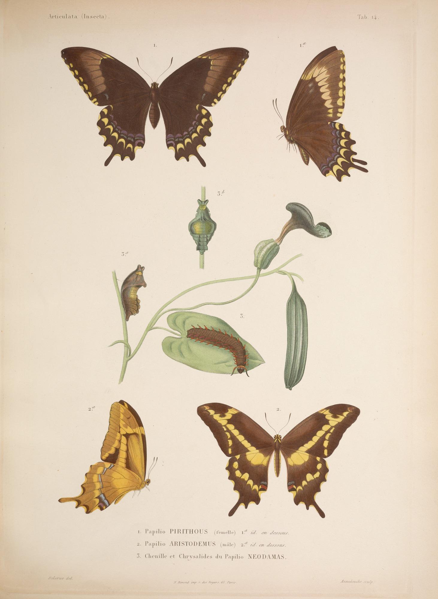 Species and anatomy of butterflies