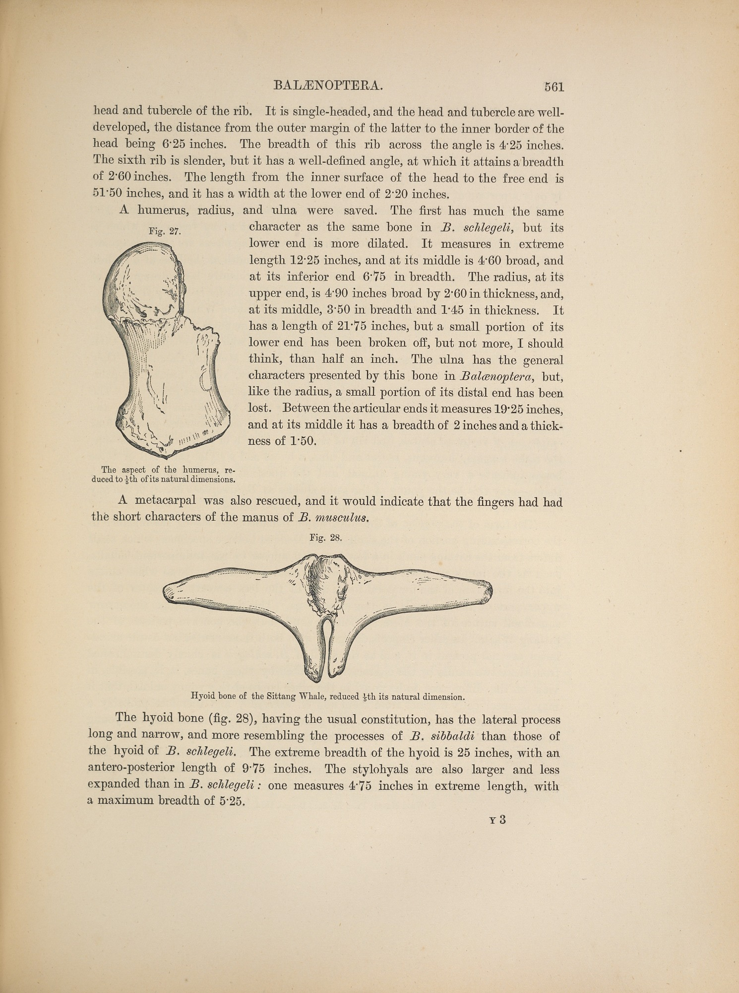 Anatomy of Bryde\'s whale