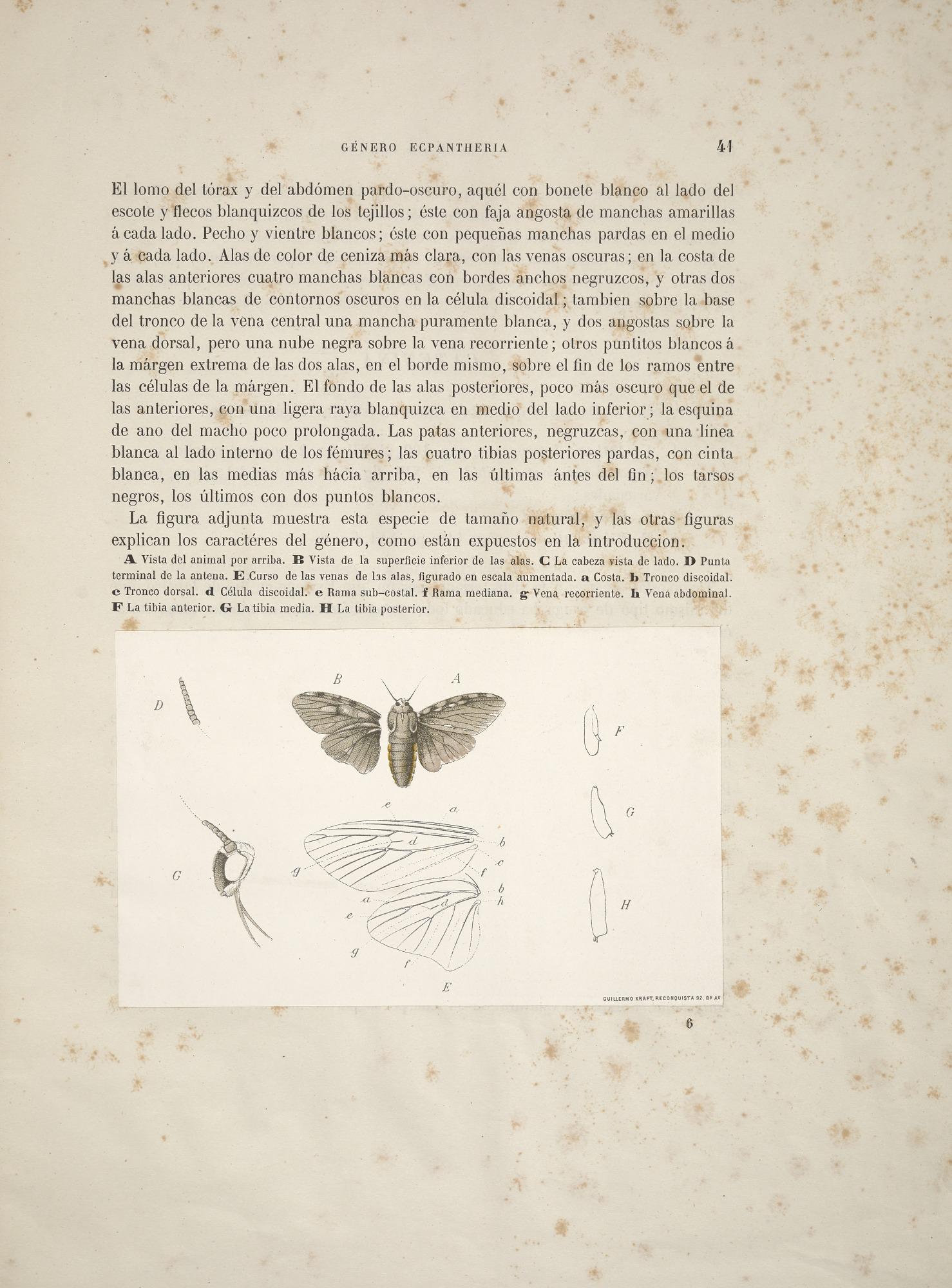 Anatomy Of Genus Of Moth Ecpantheria A Junior Synonym For
