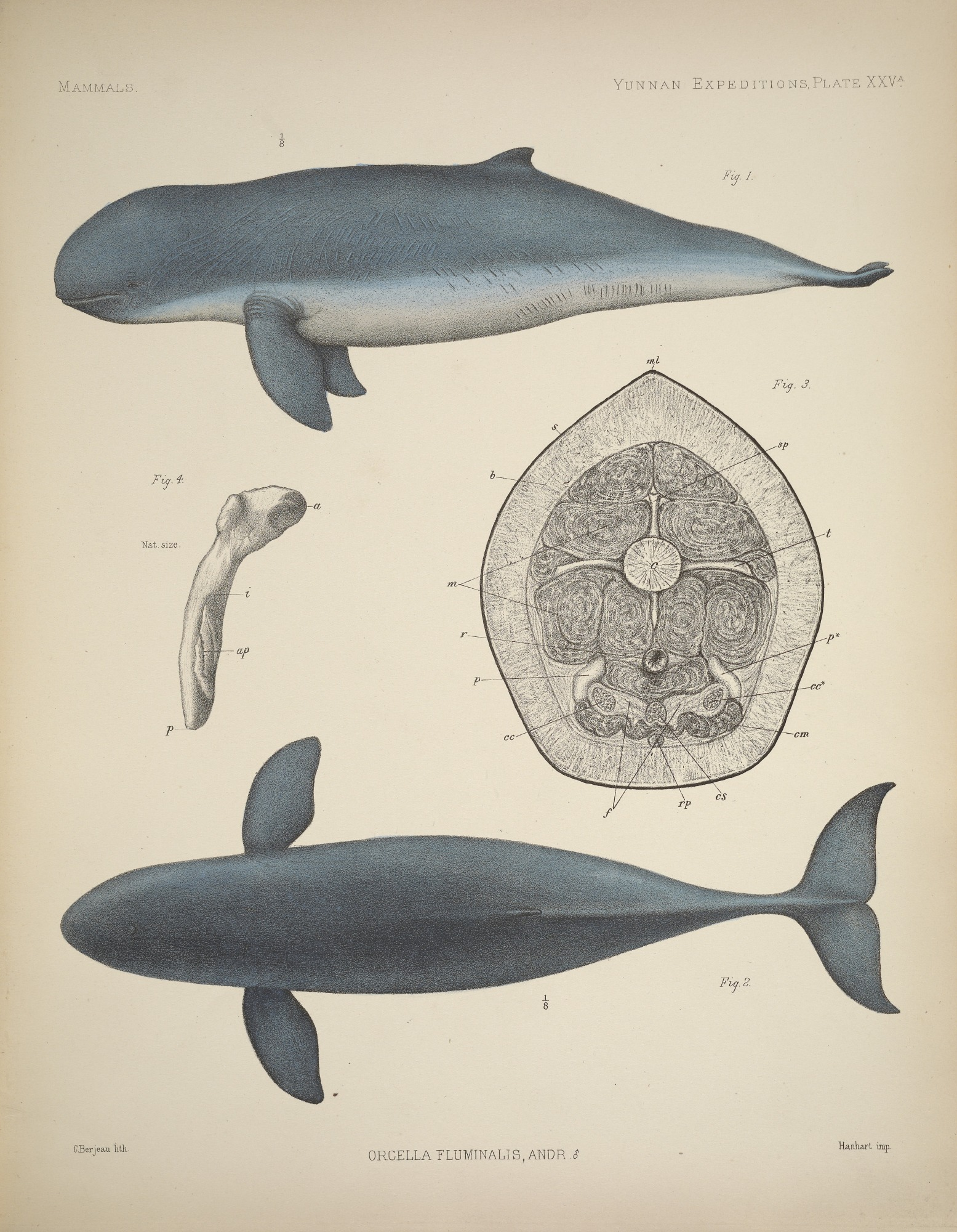 Plate depicting male snubfin dolphin anatomy