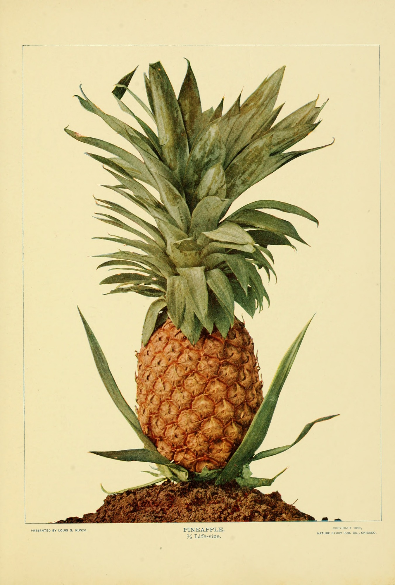 images for Pineapple from Birds and nature.