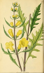 Illustration of gerardia quercifolia
