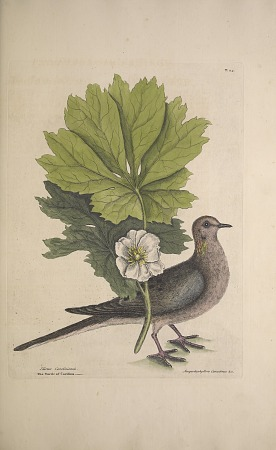 English naturalist Mark Catesby (1683–1749) spent years in the Americas cataloguing plants and animals, gathering seeds and specimens, and making watercolor sketches.