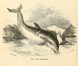 Dolphin from The animal creation: a popular introduction to zoology.