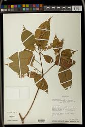 Croton myriaster Baker