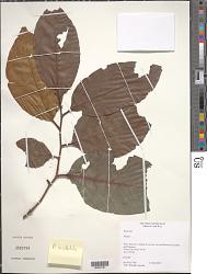 Prunus sp.