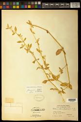 Alternanthera ficoidea (L.) Sm.