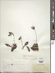 Utricularia alpina Jacq.