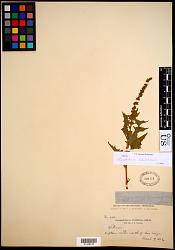 Chenopodium californicum S. Watson