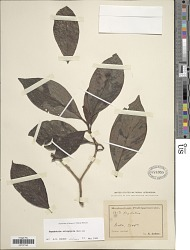 Psychotria crispipila Merr.