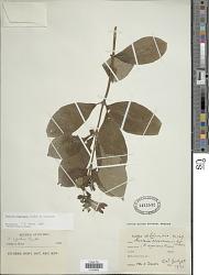 Fuchsia nigricans Linden ex Planch.